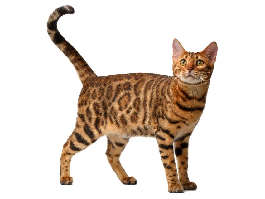 bengal tout sur cette race de chat - Chaton Bengal Gratuit